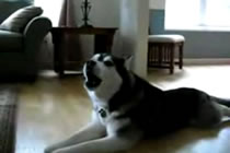 Singing Husky